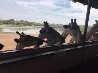 Feed giraffes